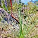 Grass Tree or Blackboy Tree
