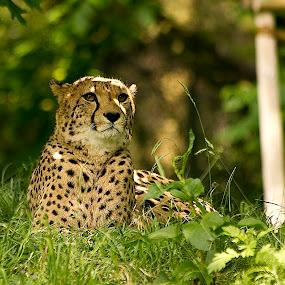 Majestic Cat... by Avishek Patra - Animals Lions, Tigers & Big Cats ( african cat, big cat, wild cat, cheetah, wildlife, puma, cheeta, leopard,  )