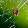 Spiny Orbweaver Spider