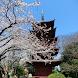千葉県 法華経寺と桜(JP040)
