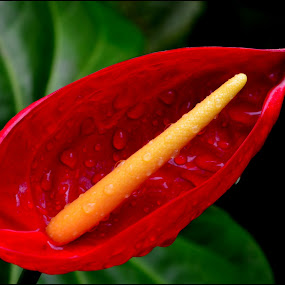 anthurium by Vipin Pachat - Flowers Single Flower (  )