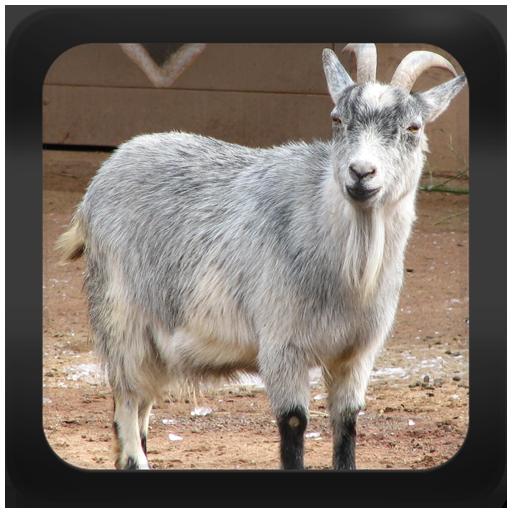 Goat Breeds: Types of Goat