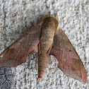 Virginia Creeper Sphinx