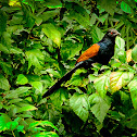 The Greater Coucal or Crow Pheasant