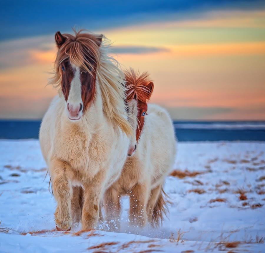 Running for bite of bread. by Gunnlaugur Örn Valsson - Animals Horses ( colour, icelandic, pony, sky, winter, horses, snow, travel, frozen,  )
