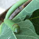 Alope sphinx caterpillar