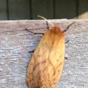 Isabella Tiger Moth - Hodges#8129