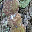 Tortoise Hoya