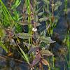 Northern Bugleweed