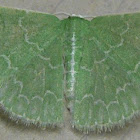 Southern Emerald Moth