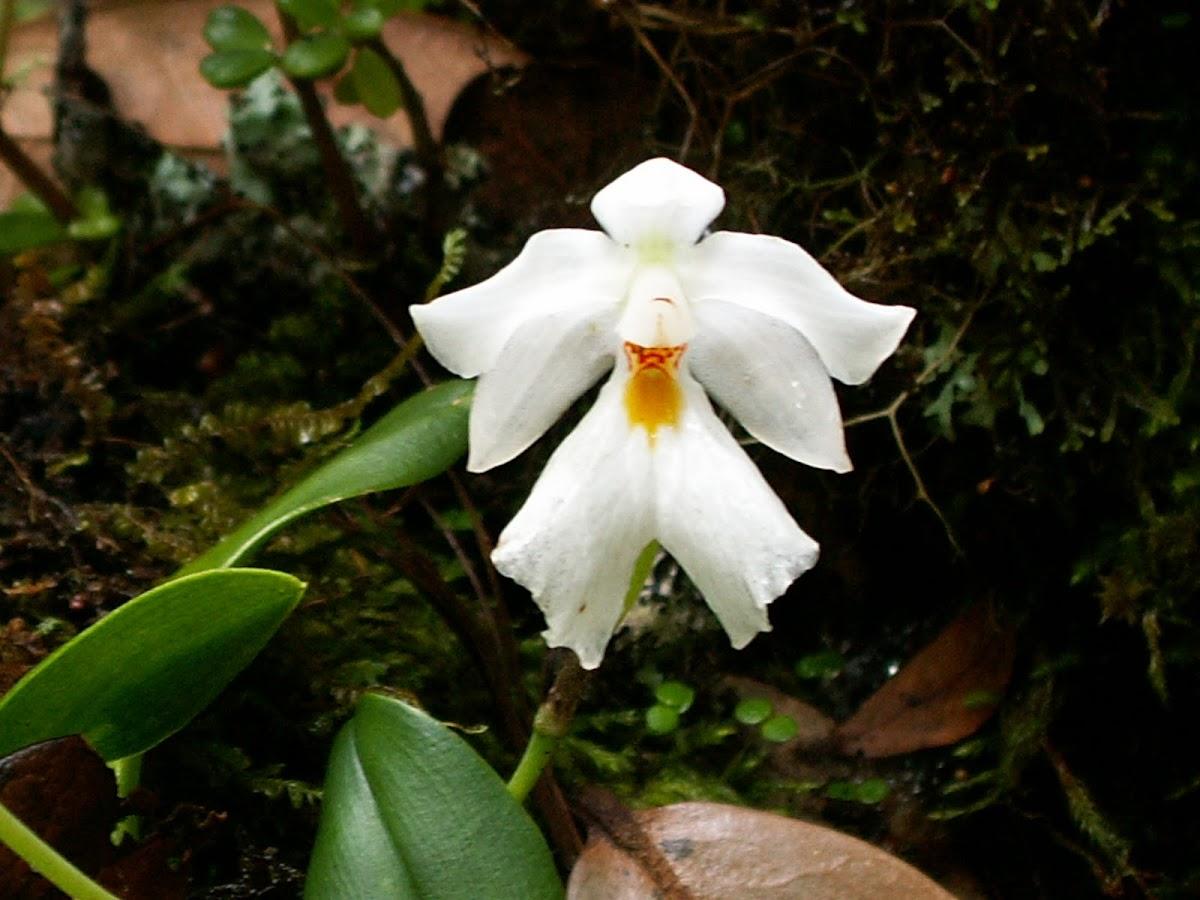 Ticoglosum orchid