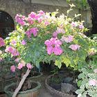 Mussaenda Plant