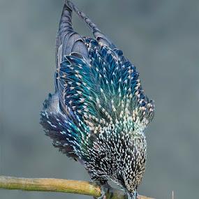 Common starling by Prasanna AV - Animals Birds