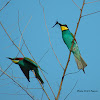 The European Bee-eater