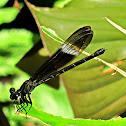 Gossamerwings ♀