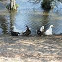 Domestic Ducks and Mallards