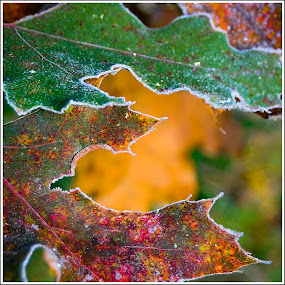 First Frost by Jebark Fineartphotography - Nature Up Close Leaves & Grasses ( nature, autumn, frost, forest, leaves )