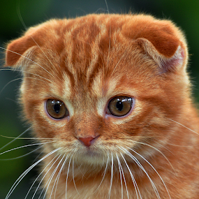 by Cacang Effendi - Animals - Cats Portraits ( cats, kitten, cattery, chandra, animal )