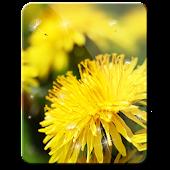 Spring Moves Dandelion hd