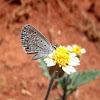 Hanno blue butterfly. Mariposa. Borboleta