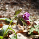 Common Lungwort / Plućnjak