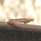 Tineid Moth