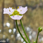 Narrow leaved water plantain