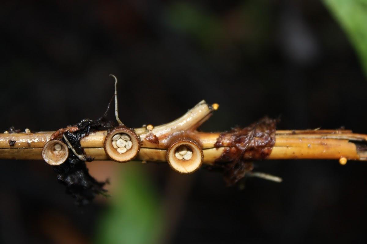 Common bird's nest fungus