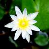 Miniature Star Lotus