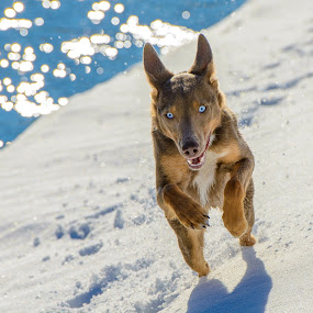 by William Tipper - Animals - Dogs Running