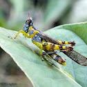 Clear-winged Monkey Grasshopper