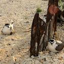 Grey Back Tern