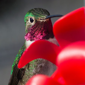 I see that you see me by RaeLynn Petrovich - Animals Birds ( bird, nature, hummingbird, ruby throated, colorado, humming bird )