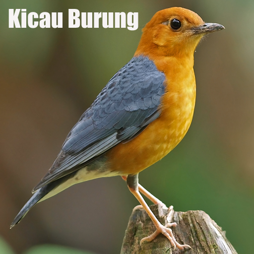 Suara Kicau Burung 音樂 App LOGO-硬是要APP