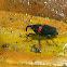 Snout Beetles (Curculionidae)
