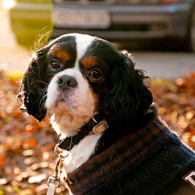 A dog by Luana Racan - Animals - Dogs Portraits ( dog watching alone sad cute bokeh zagreb croatia,  )