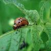 Ličinka krumpirove zlatice (Colorado potato beetle larva)