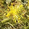 Fragrant Yellow Allium