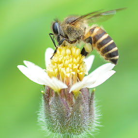 Pollen Bee by BoonHong Chan - Animals Insects & Spiders ( bees, bee, flowers, pollen bee, close up, flower )