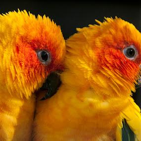 Love Birds by Mark Anolak - Animals Birds ( animals, lovebirds, yellow, birds,  )