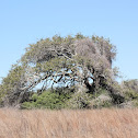 Sandy Live Oak
