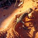 Desert Spiny Lizard (young)