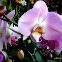Blue Phalaenopsis Orchid Hybrid