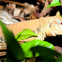 Lizard
