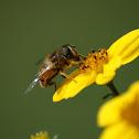 Honeybee (Ape)