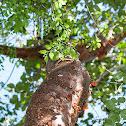 Gumbo-Limbo  Tree