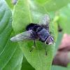 Tachinidae Fly - Mosca