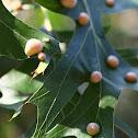 Gall on Pen Oak