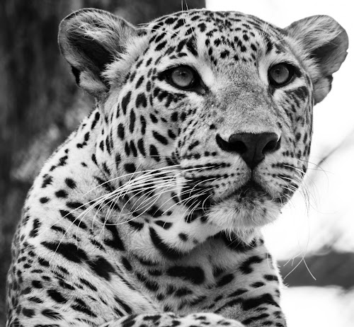 The Grim by Madhujith Venkatakrishna - Black & White Animals ( , black and white, animal )