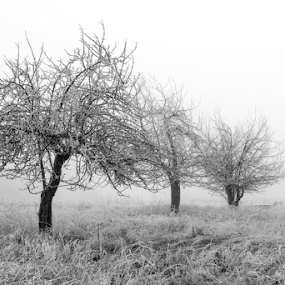 Three Trees in the Fog by Shaun Schlager - Black & White Landscapes ( idaho, barn, black and white, fog, trees, worley, coeur d alene )